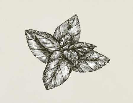 Hand-drawn basil leaf isolated