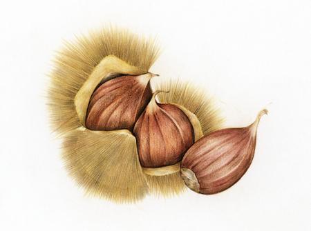 Illustration Zeichnung Stil der Kastanie Standard-Bild - 99962498