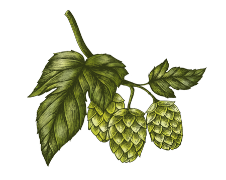 Hand-drawn hops, flavoring and stability agent in beer