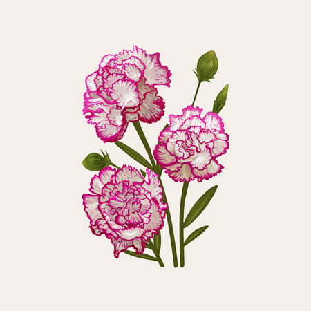 Illustration drawing of Dianthus caryophyllus