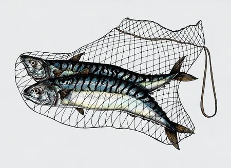 Hand getrokken gevangen makreels op het net Stockfoto