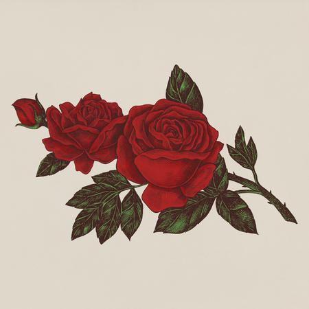 Hand gezeichnete frische rote Rose Standard-Bild