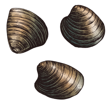 Hand drawn clam bivalve mollusc Banque d'images - 99963503