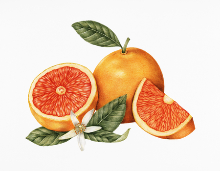 Hand drawn sketch of oranges Banco de Imagens