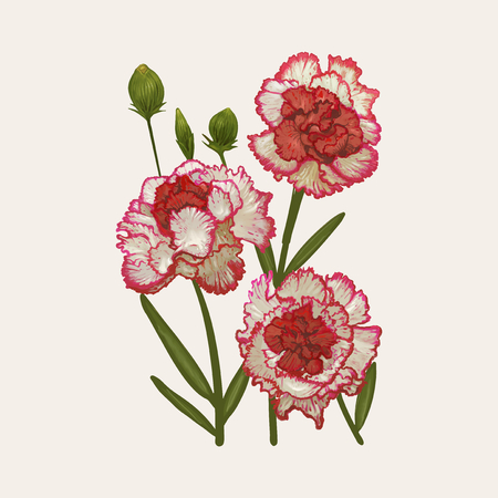 Illustration drawing of Dianthus caryophyllus