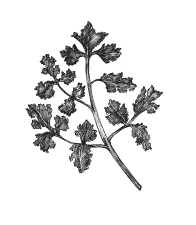 Hand-drawn fresh coriander isolated