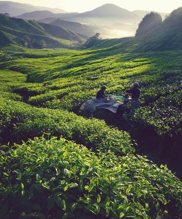 Tea pickers in a field at dawn Stok Fotoğraf