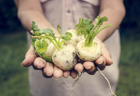Fresh white beets vegetable Banco de Imagens - 103994436