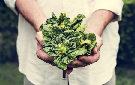 Hands holding kale organic produce from farm