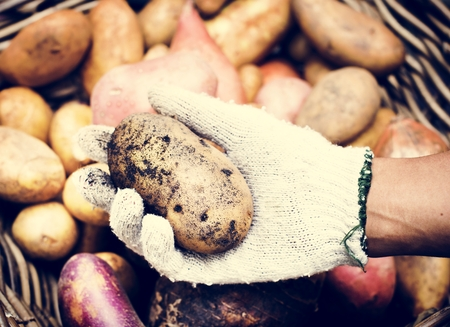 A person handling potatoes 写真素材 - 103994749