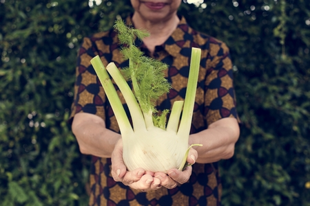 Closeup of hands holding fresh organic fennel 写真素材
