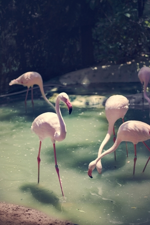 Pink flamingos at the zoo 版權商用圖片