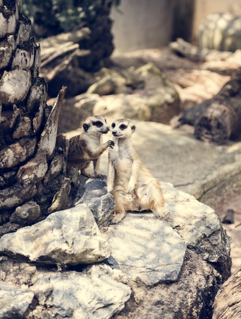 Closeup of meerkats at the zoo