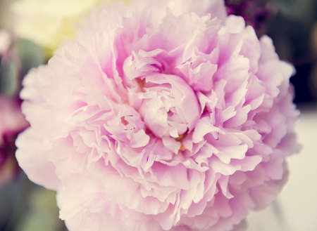 Closeup Fresh Real Pink Carnation Flower