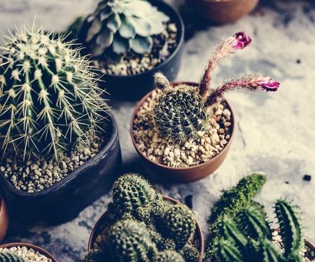 Closeup of real cactus in pots Stock Photo