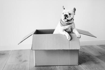 Closeup of a French bulldog 版權商用圖片