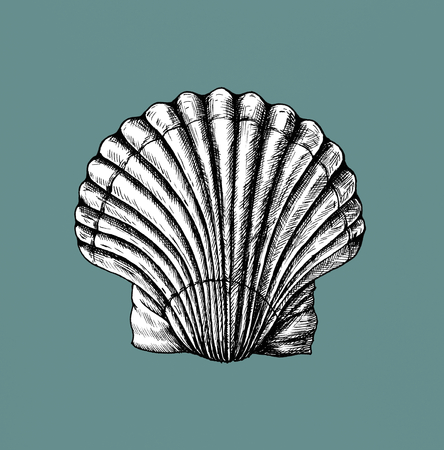 Hand drawn scallop saltwater clams Stok Fotoğraf - 108614565