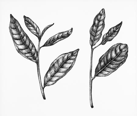 Hand drawn fresh green tea leaf Zdjęcie Seryjne