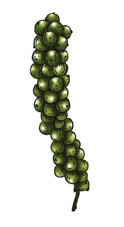 Hand gezeichnetes grünes Pfefferkorn