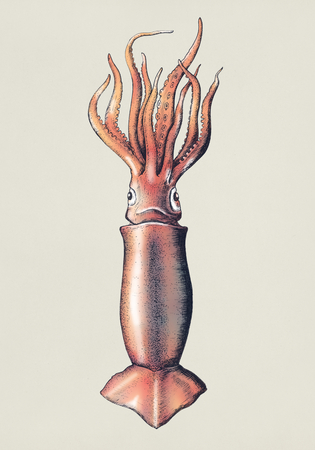 Hand drawn squid isolated