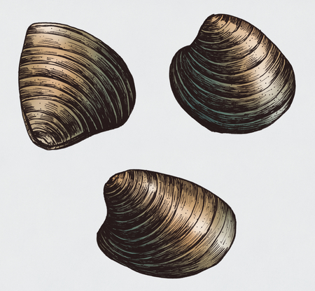 Hand drawn clam bivalve mollusc