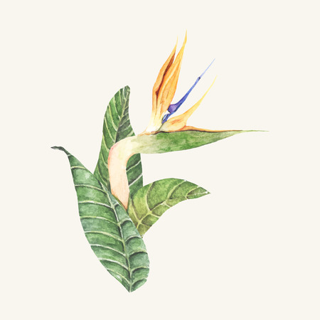 Hand drawn bird of paradise flower isolated Banque d'images - 108389537