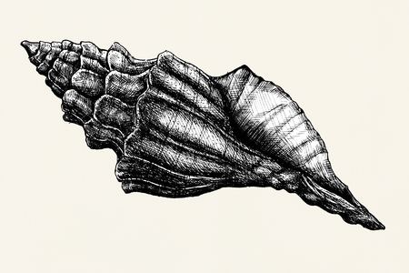 Hand drawn conch sea shell isolated Stock fotó