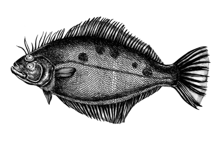 Hand drawn flounder flatfish