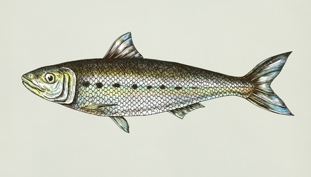 Hand drawn sardine fish