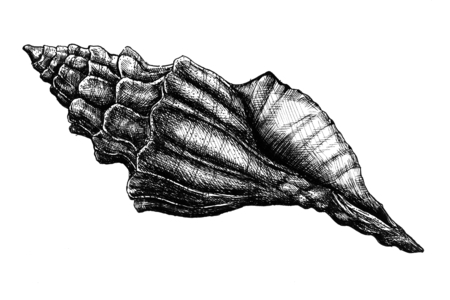 Hand drawn conch shell isolated