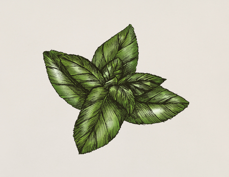 Hand-drawn basil leaf isolated