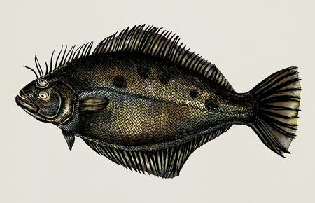 Hand drawn flounder flatfish