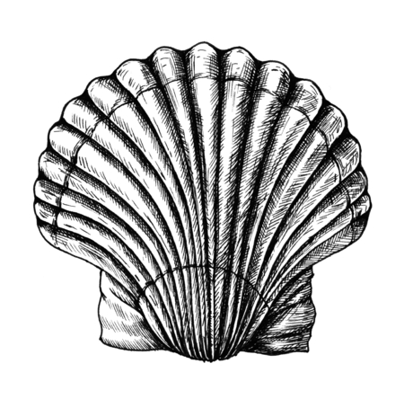 Hand drawn scallop saltwater clams Stok Fotoğraf - 109222143