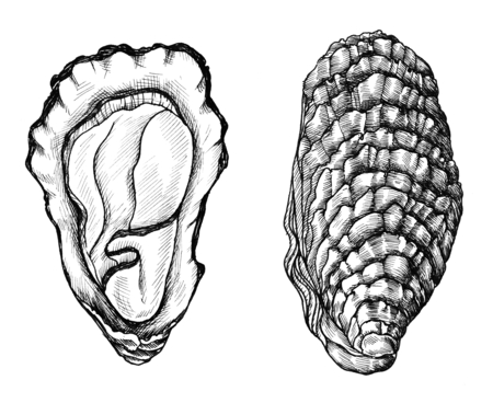 Hand drawn of oyster Stock Photo
