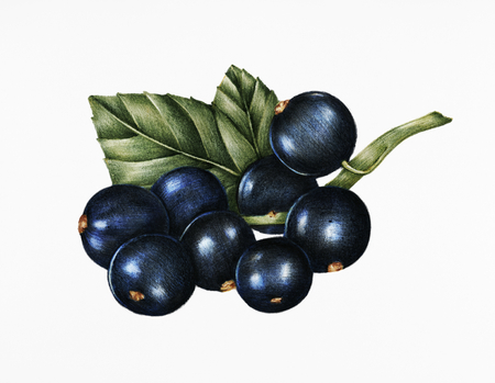 Hand drawn sketch of blackcurrants