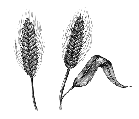 Hand-drawn barley cereal grain Stockfoto
