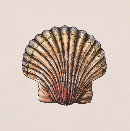 Hand drawn scallop saltwater clams Banque d'images - 109292144