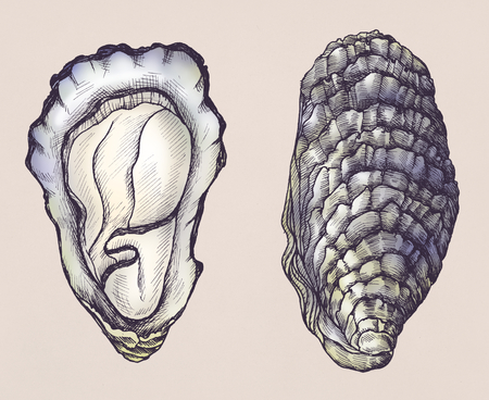 Hand drawn oyster salt-water bivalve