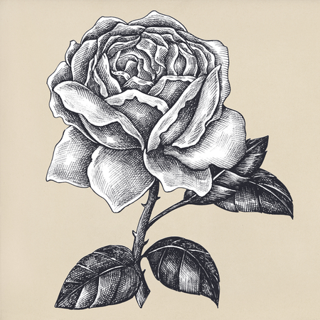 Hand drawn blooming rose isolated