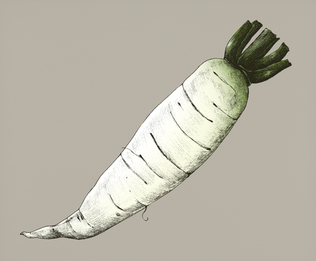 Hand drawn daikon Chinese radish