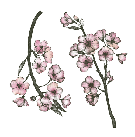 Hand drawn of sakura flower