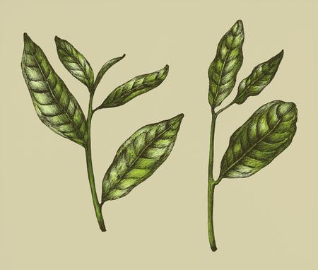 Hand drawn fresh green tea leaf Stock Photo