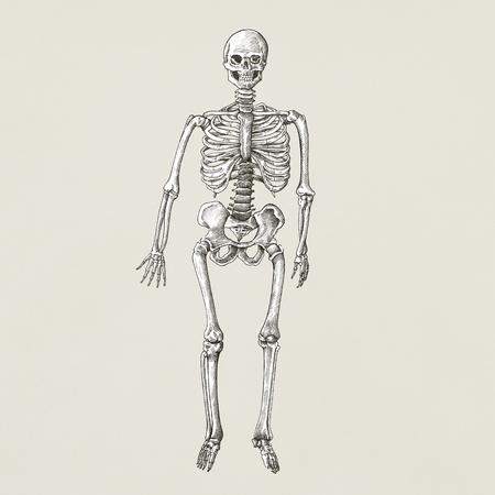 Human skeleton vintage style illustration Stock fotó