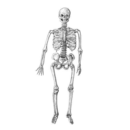 Hand drawn skeleton isolated on background