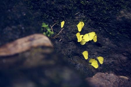 Beautiful yellow butterflies