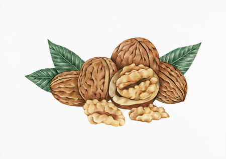 Hand drawn sketch of walnuts isolated on a white background.