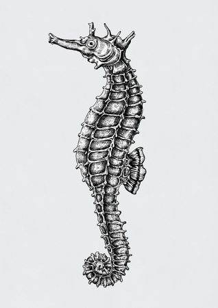 Hand drawn seahorse isolated on a gray background. Stok Fotoğraf