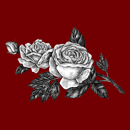 Hand drawn blooming rose isolated on a red background