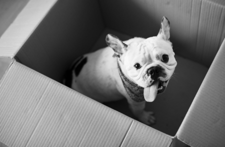 Closeup of French bulldog 版權商用圖片