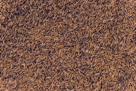 Lot of dried grains or oats